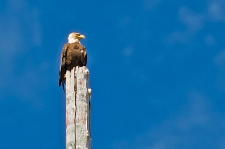 Eagle a top of Totem Pole
